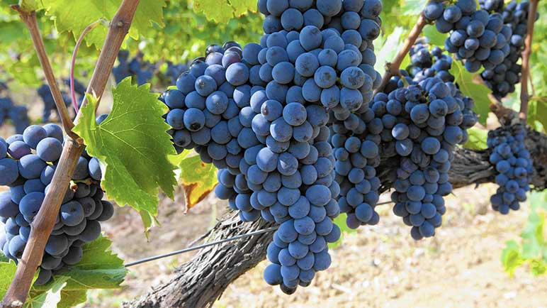 Why Sangiovese should be your favourite cultivar